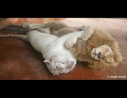 liontiger