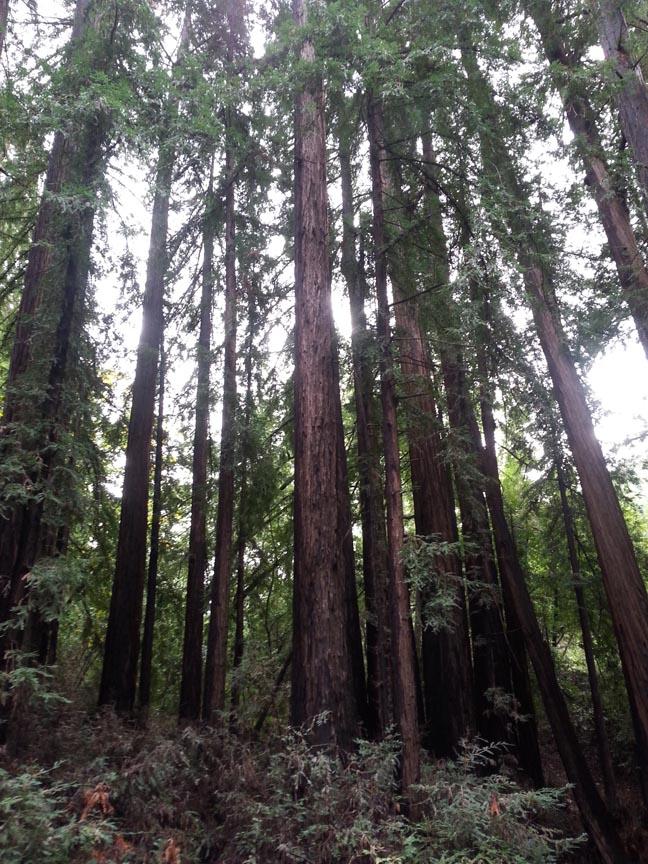 redwoods1